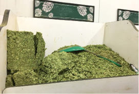 Clusters of Cascade hops in cold storage at Sierra Nevada Brewing Co. in Chico